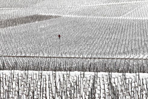 WINTER REVISITED: A man walks among vineyards covered with snow at Mailly-Champagne, near Reims, in the Champagne region of France. Photograph: Francois Nascimbeni/AFP/Getty Images