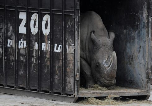 RHINO EXPIRES: A photo taken on December 16th, 2009, shows a male Northern White Rhino named Sudan exiting a transport box in a zoo in Dvur Kralove, Czech Republic. The last male of his subspecies, Sudan has died in Kenya at the age of 45, his keepers have announced, leaving only two females alive. File photograph: Michal Cizek/AFP/Getty Images