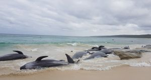 Stranded whales on the beach at Hamelin Bay. Photograph: Leearne Hollowood/via Reuters