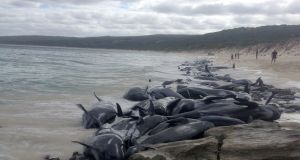 More than 150 short-finned pilot whales beached en masse in Hamelin Bay, Western Australia. Photograph: Western Australia Department of Biodiversity Conservation and Attractions/AFP/Getty Images