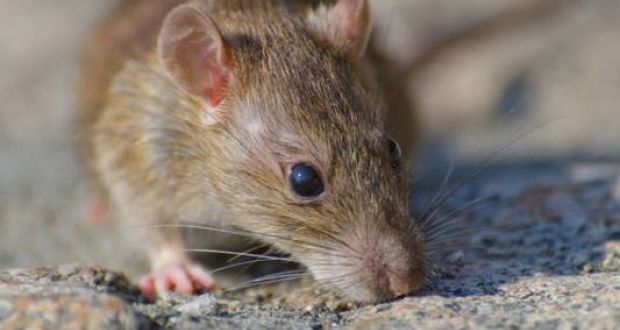 Direct provision residents in Sligo complain of \'rat infestation\'