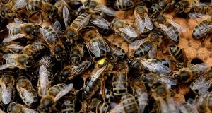 Irish workers bees and a queen bee with a yellow spot on back pictured in a hive. Photograph: Cyril Byrne/The Irish Times