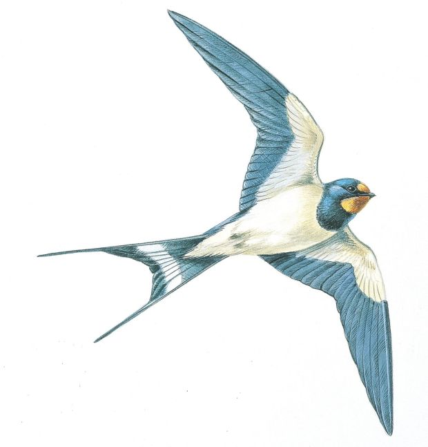 the swallow has landed 10 birds to spot in ireland in spring