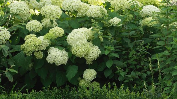 There's still time to deadhead your hydrangeas