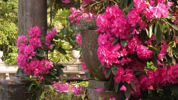 Rhododendrons flowering in Mount Stewart Gardens in Co Down. Photograph: Richard Johnston