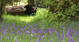 Drifts of bluebells flowering in the woodland gardens of Mount Usher in Co Wicklow. Photograph: Richard Johnston