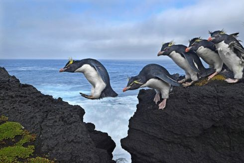 Thomas P. Peschak  - Jump - second prize Nature singles - Rockhopper penguins live up to their name as they navigate the rugged coastline of Marion Island, a South African Antarctic Territory in the Indian Ocean.