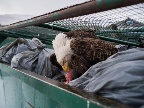 Corey Arnold USA - Dumpster Diver; first prize singles - The bald eagle population in Dutch Harbor is far greater then the natural environment can sustain.  Hundreds of Eagles rely on human waste from residents and the fishing industry to survive the long winters.