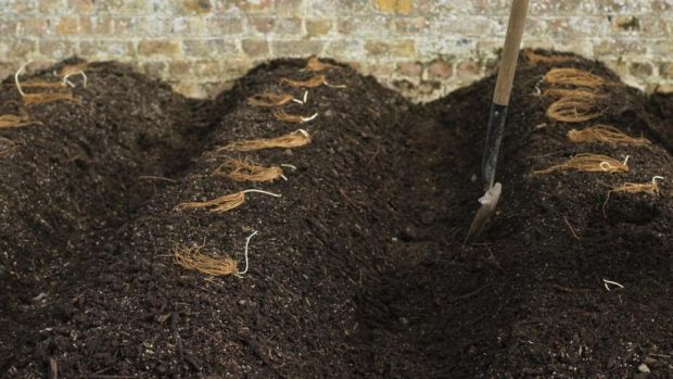 Asparagus crowns waiting to be planted. Photograph: Richard Johnston