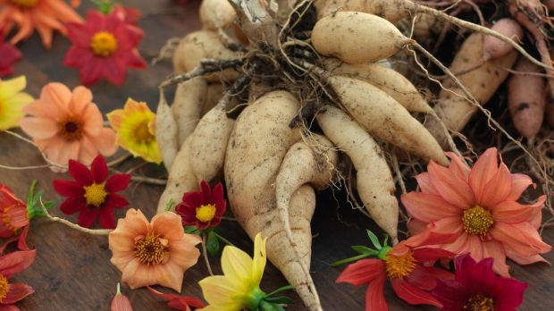 The edible tubers of dahlias are a tasty food crop. Photograph: Richard Johnston