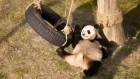 Black, white and blue: experts claim pandas suffer bruised egos