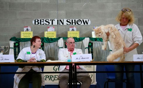 PAWS FOR THOUGHT: Judges adjudicate during the 27th GCCFI Supreme Cat Show, in Dublin. Photograph: Nick Bradshaw