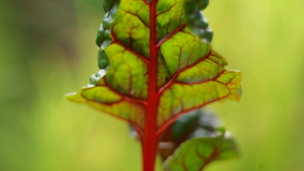 The colourful edible leaves of Swiss chard. Photograph: Richard Johnston