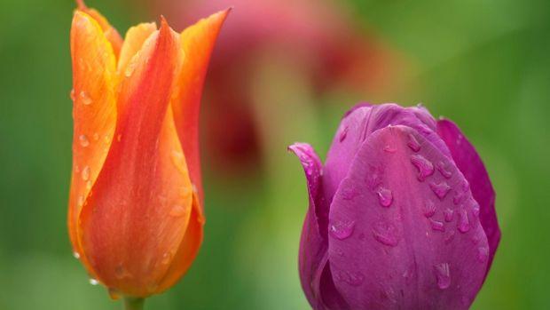 Tulips growing in an Irish garden. Photograph: Richard Johnston