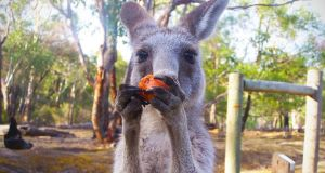 An Australian politician has called for a coordinated government response to a spate of junk food-crazed kangaroo attacks on tourists on the New South Wales central coast. Image: iStock.
