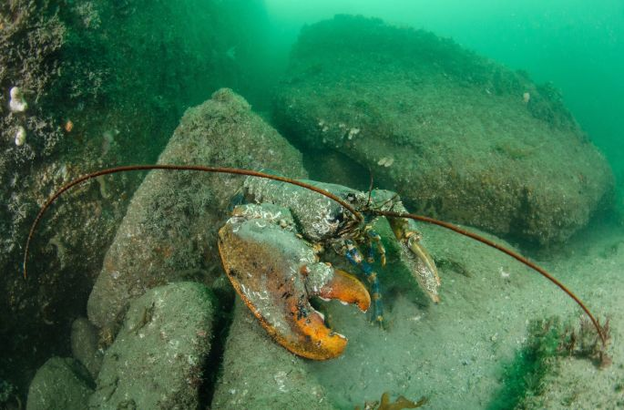 1st place Category 1 Category 1 - Best photograph of a crustacean/echinoderm Oldest Lobster in the Bay  by Nigel Motyer