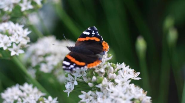 A Red Admiral butterfly basks on the edible flowers of garlic chives. Photograph: Richard Johnston