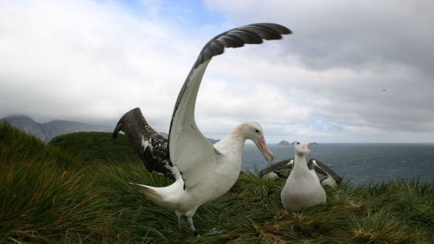 Wandering Albatrosses on South Georgia. Photograph: Tony Martin/PA Wire