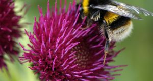 A bumblebee feeds on nectar: To address declines in pollinating insects, an All-Ireland Pollinator Plan was launched in 2015.  Photograph: Jane Powers