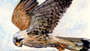 For raptors like kestrel (above) and barn owl, the influx of voles and greater white-toothed shrew  offers a change of diet. Illustration: Michael Viney