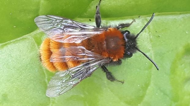 The female tawny mining bee, one of the solitary bees.
