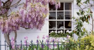 Wisteria: make sure to buy a well-grafted plant rather than one raised from a cutting, seed or layering. Photograph: Getty