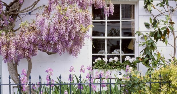 Wisteria Make Sure To A Well Grafted Plant Rather Than One Raised From