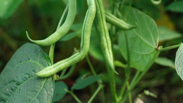 French beans growing in an Irish garden. Photograph: Richard Johnston