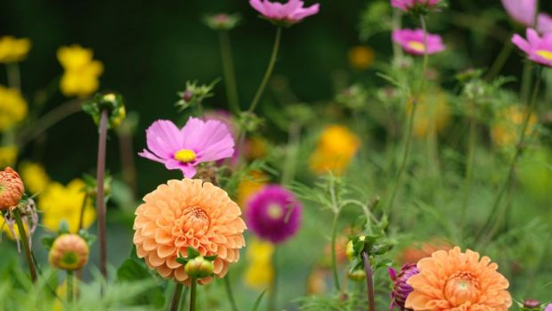 Dahlias and cosmos flowering in Fionnuala's garden. Photo credit Richard Johnston