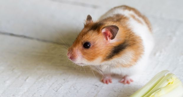 Ziggy is a hamster, and the last pet I'm ever saying yes to