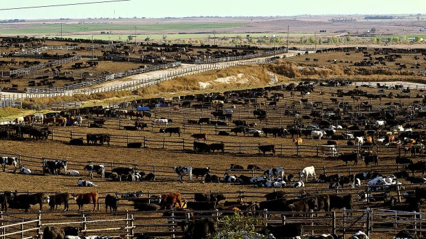 A feed yard used for finishing livestock, notably beef cattle. Photograph: Mark Reinstein/Corbis via Getty Images