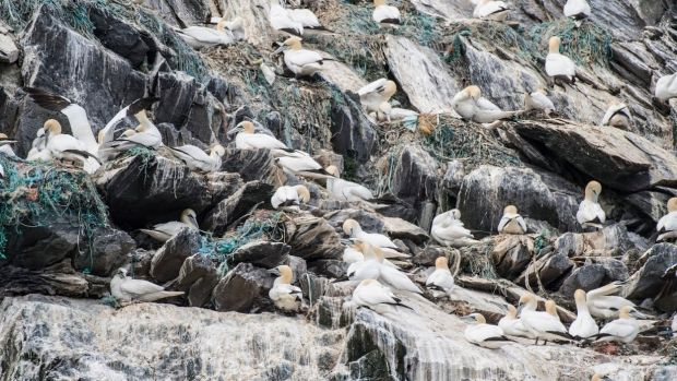 Little Skellig contains a large density of gannet nests covered with marine debris. Photograph: Mark Hilliard
