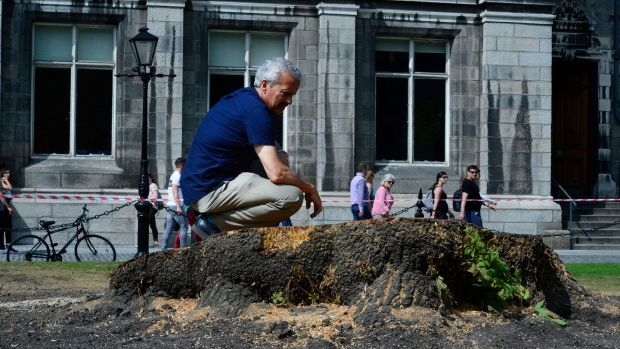 Prof Parnell surveys the the stump of the Oregon Maple Tree.Photograph: Cyril Byrne/The Irish Times
