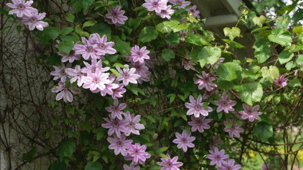 The early large-flowered clematis 'Nelly Moser' is one of the stars of the June garden. Photograph: Richard Johnston