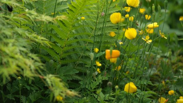 Meconopsis cambrica or Welsh poppy blooms through the summer months. Photograph: Richard Johnston