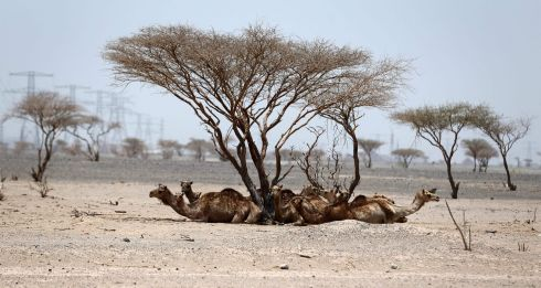 NO SWEAT: Camels rest under trees in the desert of Sharjah in United Arab Emirates. Photograph: Karim Sahib/AFP/Getty Images