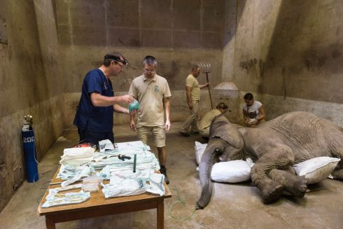 BROKEN TUSK: South African elephant specialist Gerhard Steenkamp (left) and Hungarian veterinarian Endre Papp prepare to remove a broken tusk from Kito, a three-year-old African elephant bull, in the elephant house at Sosto Zoo, Nyiregyhaza, Hungary. Prof Steenkamp led a team of the zoo's three vets and six keepers to extract the inflamed tusk, a medical intervention which is performed by only three veterinarians in the world.  Photograph: Attila Balazs/EPA