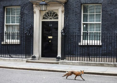 POLITICAL ANIMAL? A fox walks past 10 Downing Street in London, Britain, the residence of the British prime minister. Photograph: Simon Dawson/Reuters