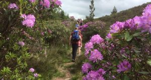 The rhododendron puts on a memorable display of colour in early summer, with clusters of bell-like flowers that create insanely unforgettable vistas.