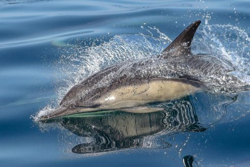 "The Biodiversity Photographer of the Year competition Winner - DOLPHIN BLADE by John Holden ""Short Beaked Common Dolphin breaking the surface, 22KMs off West Cork. They are part of an astonishing marine eco system present off our shores. Fast, graceful, exciting and playful, great to watch but a nightmare to photograph."""