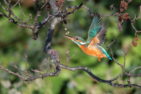 "Second Place - BEAUTY IN FLIGHT by Christopher Howes. ""This photo was taken just outside Tinahely, Co Wicklow. I was told by my friend that there were sightings of a pair of kingfishers seen in the area so all it took was to put in the time and sit and wait. I nearly gave up after 2 and a half hours and I just caught a quick glance of one just flying by so I just fired off a few shots hoping to get at least one shot which I was happy with."""