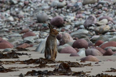 "Third Place - HARE ON BEACH IN ACHILL by Karen Taylor. ""On a remote part of Achill Island, untouched by humans, this curious Irish hare (Lepus timidus hibernicus) loped onto the beach to check out the strange individuals wandering in its back garden."""