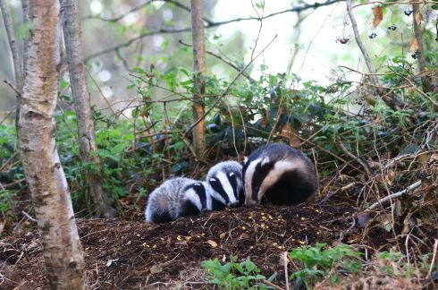 "Mother Badger and Cubs by Pat Wyse: ""I feel privileged to this beautiful animal for alowing me to take this photo while out walking one evening, Most people in their lifetime, will never see a mother badger and cubs in their natural environment."""