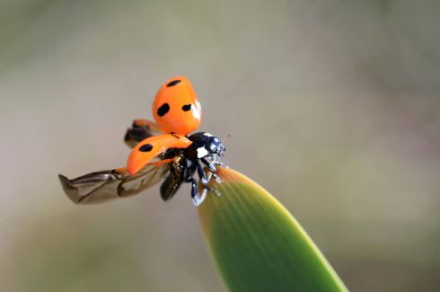 "Ladybird by Michael Keating:  ""I took this photo of a beautiful 7 spotted ladybird in my back garden in Ballymun as it was about to take off, I was delighted catch its delicate wings at the right time."""