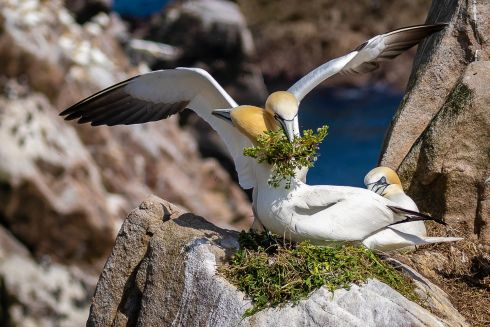 "Hi Honey, I'm Home by Jim Brennan:  ""The Northern Gannet colony on the Great Saltee affords an opportunity to observe these beautiful birds as they exhibit a range of behaviours from courtship to mating and even displays of aggression in defence of nest sites."""