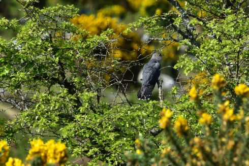 "Cuckoo Calling by Billy Horan:  ""I've often heard the Cuckoo calling, beginning in the month of May but I had never seen one until recently. This was my first time to actually see one and it so happened that I was looking through the lens of my camera. Furze bushes add colour to the scene. Location: Lower slopes of Mangerton Mountain, Killarney, Co. Kerry."""