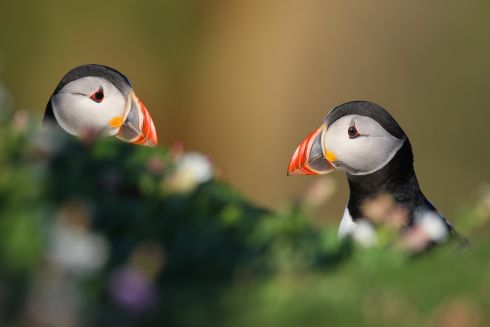 "Puffins by John O'Brien: ""Irelands Puffins are quite a hardy sea bird spending most of their lives at sea. But when they come ashore in summer time to breed, on the Saltee Islands just of Wexford, they are quite a sight to behold."""