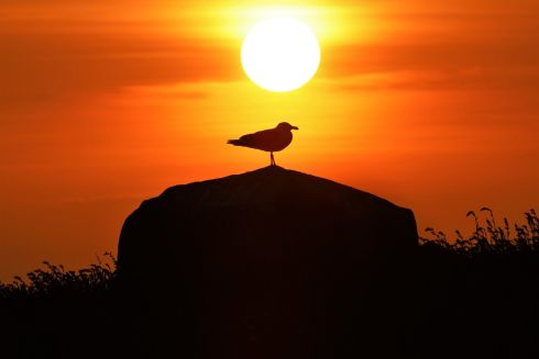 "Gull at Sunset by Donal Power: ""Saltee Island black backed gull on rock at sunset."""