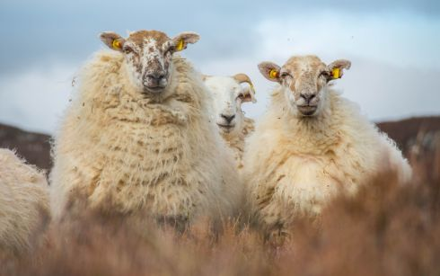 "Biodiversity Photographer of the Year competition. Schools Contest. Curious Sheep by Brian Joyce: ""Three young sheep are seen on one of the wild hills in the West, amongst the heather and have come up to investigate what I am up to with my camera."""