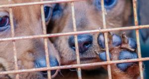 "The puppy farms ""are a profit-making operation churning out puppies all the time"". Photograph: Getty Images"